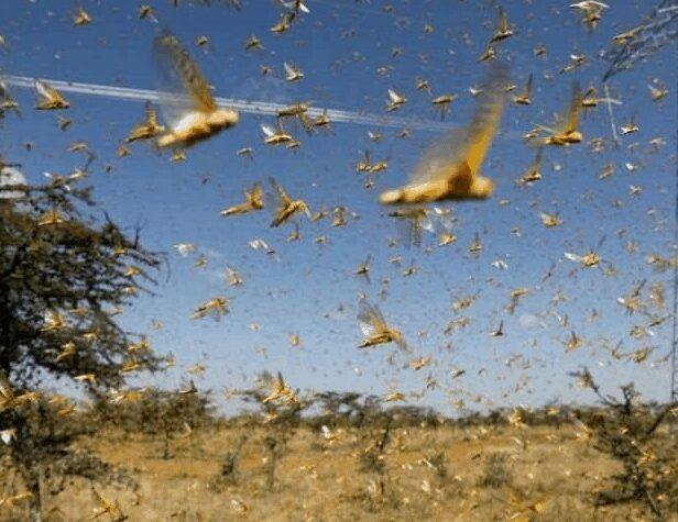 Locust_Attack