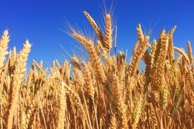 indian wheat exports could quadruple due to mass production making it a lucrative crop for asian buyers
